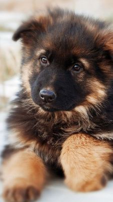 German shepherd puppy - download free