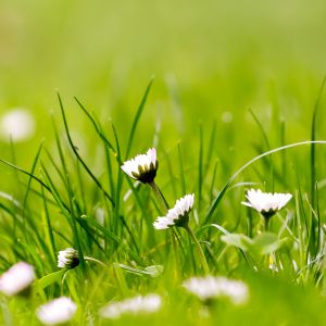 Green Grass with chamomile